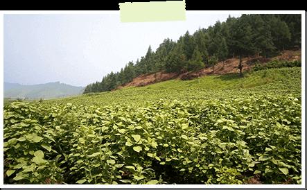 契約農家の畑